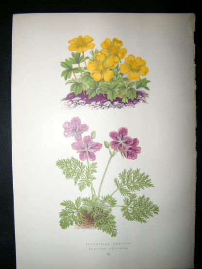 Wooster 1874 Antique Botanical Print. Potentilla Ambigua | Albion Prints